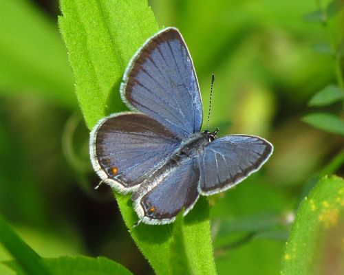 6. Eastern Tailed Blue Butterfly aka Cupido comyntas By D. Gordon E. Robertson