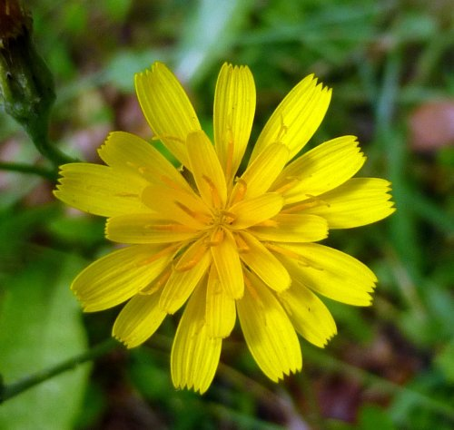 6. False Dandelion