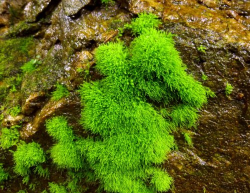 6. Threadbare Moss Anomodon tristis
