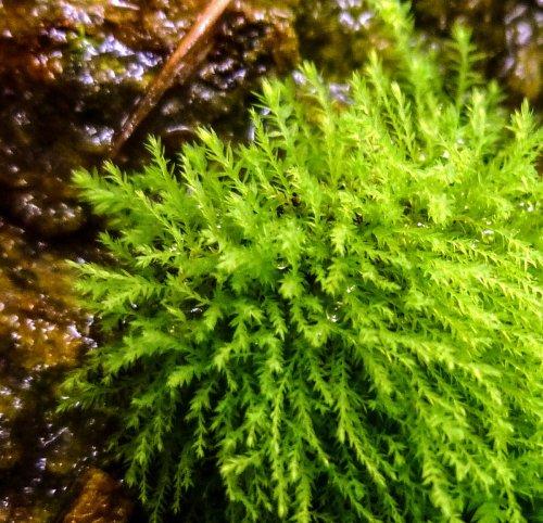7. Threadbare Moss aka Anomodon tristis Closeup