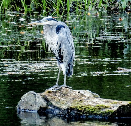 8. Heron on a Log