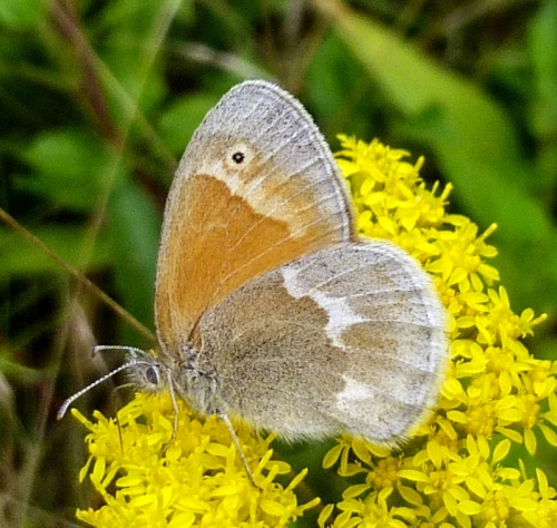 8. Possible Small Heath Butterfly aka Coenonympha pamphilus