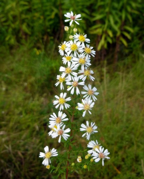 8. White Heath Aster