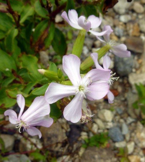 9. Soapwort Flowers