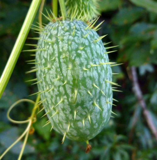 9. Wild Cucumber Fruit