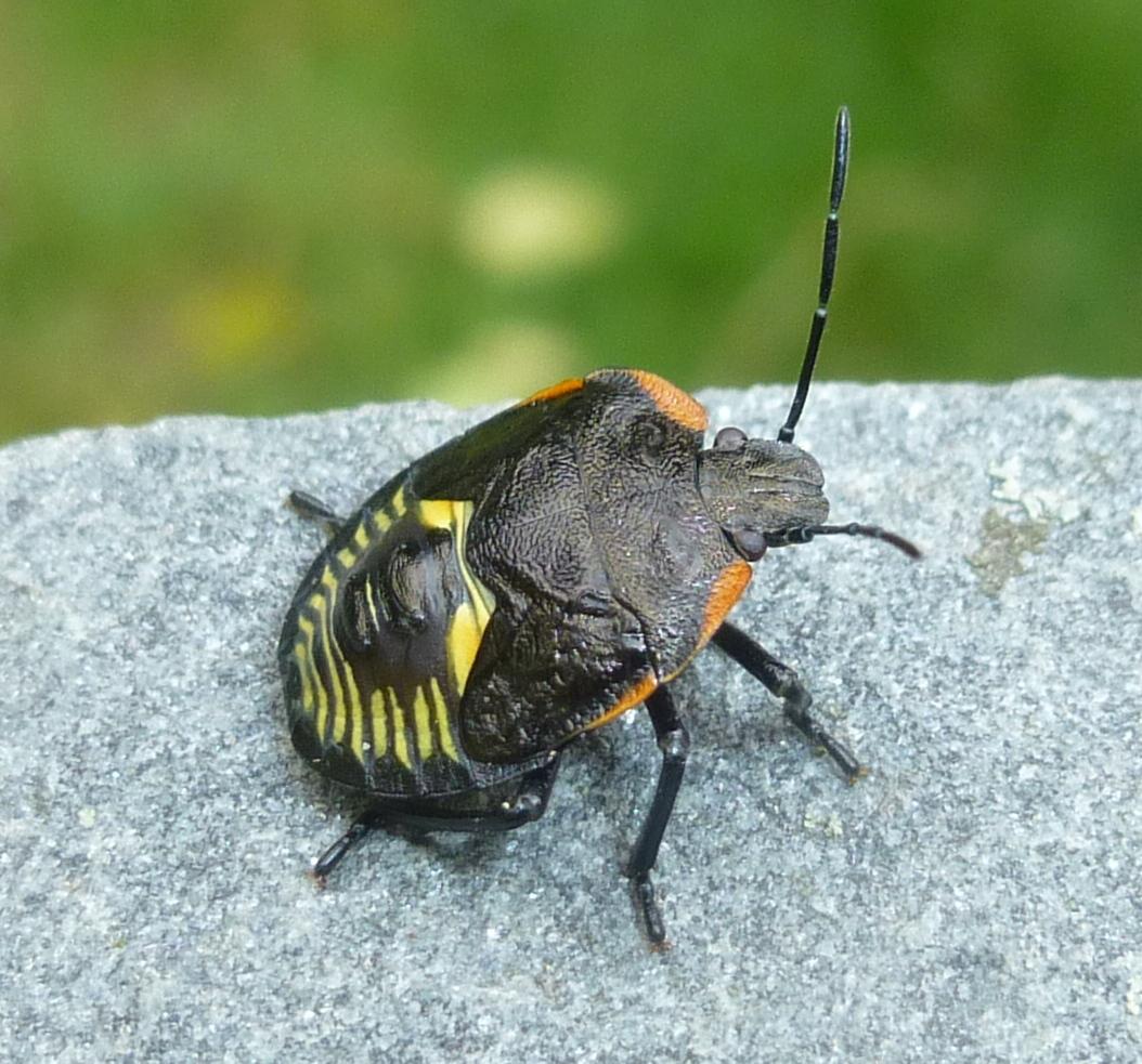 10. Green Stink Bug