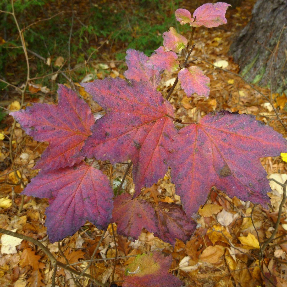 10. Maple Leaved Viburnum