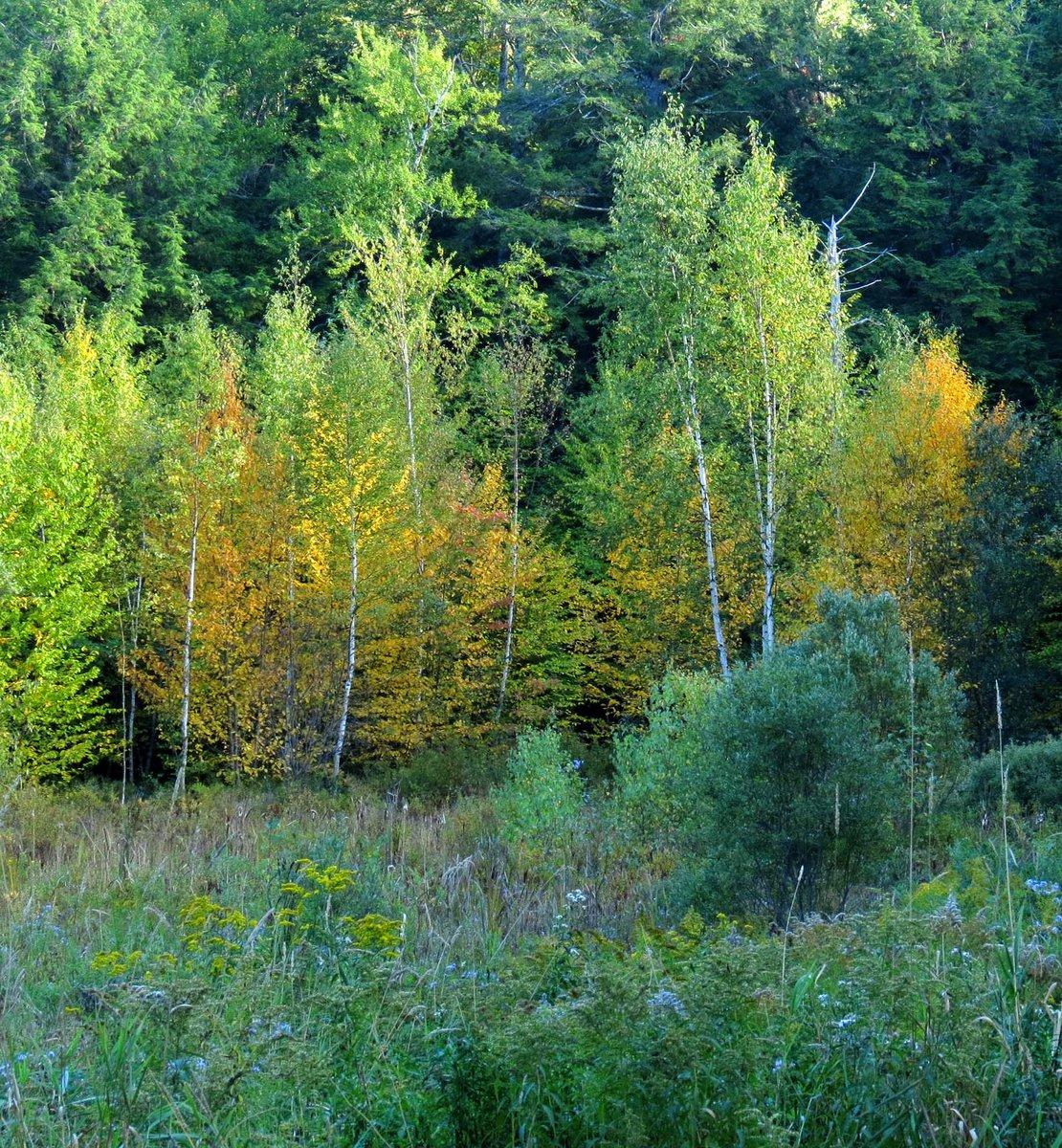 11. Blazing Birches