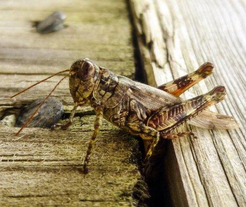11. Grasshopper