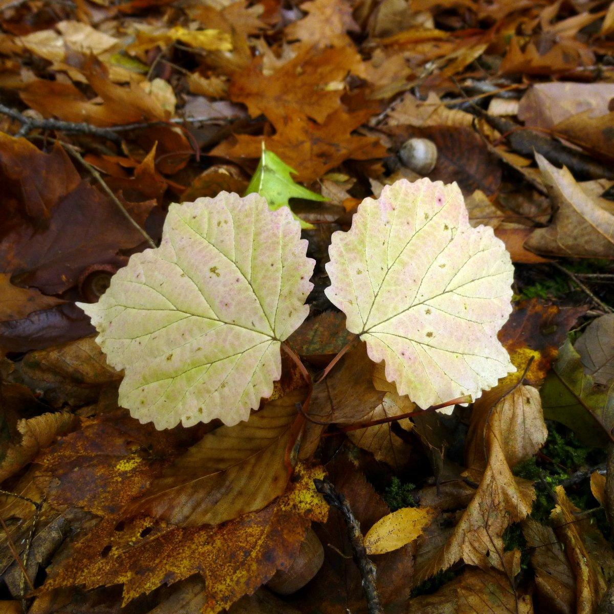 11. Maple Leaved Viburnum