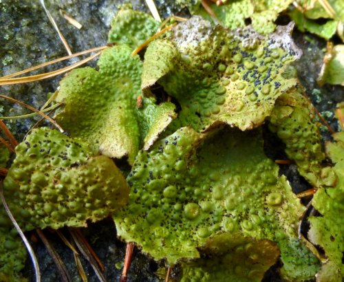 11. Toadskin Lichen