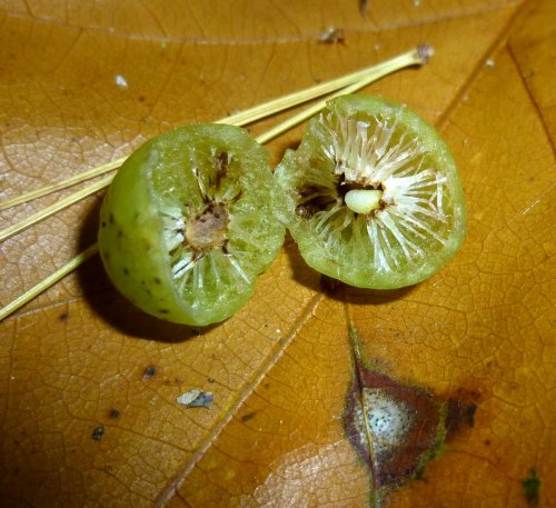 12. Oak Apple Gall