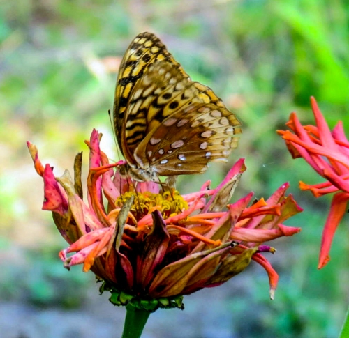 14. Spangled Fritilarry