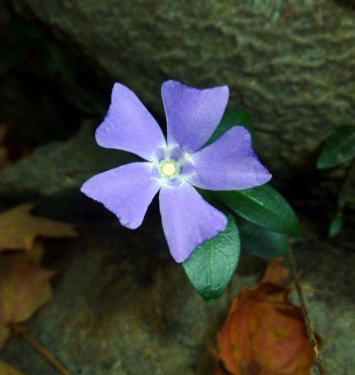 14. Vinca Blossom