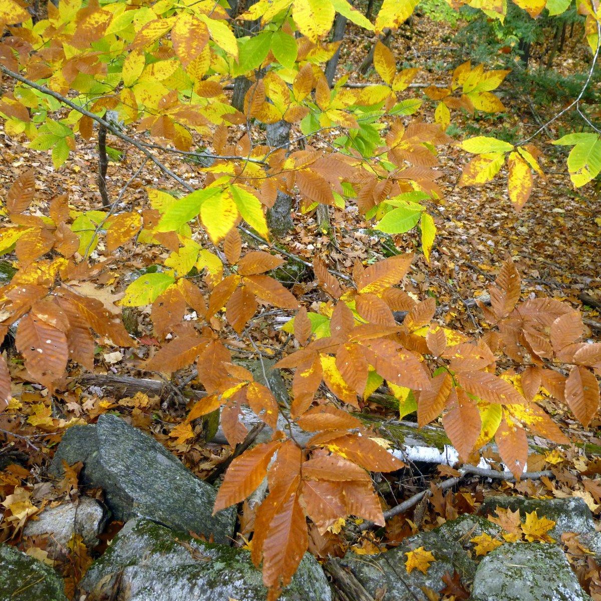 15. Beech Leaves