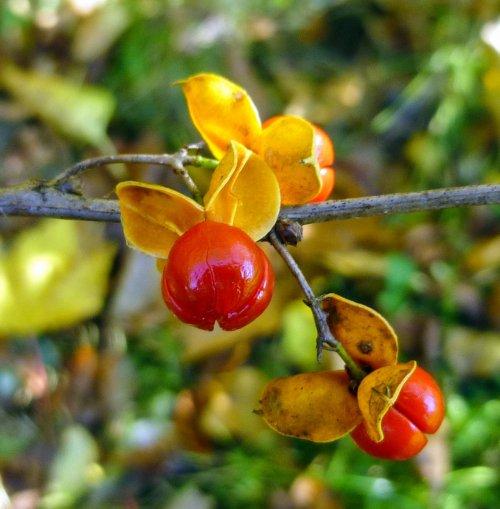 2. Bittersweet Berries