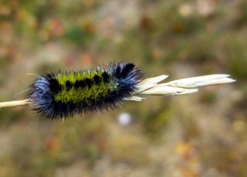2. Broad Winged Wasp Moth Caterpillar-