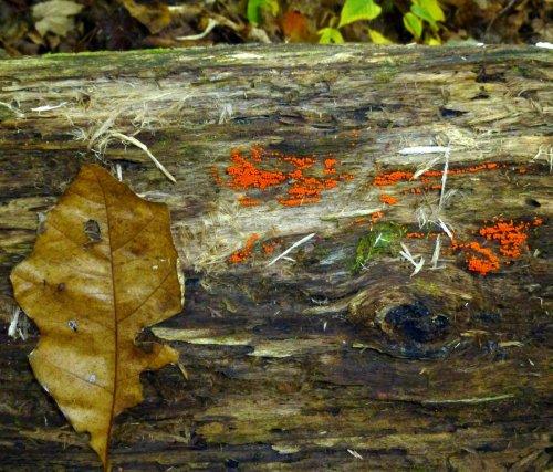 2. Reddish Slime Mold