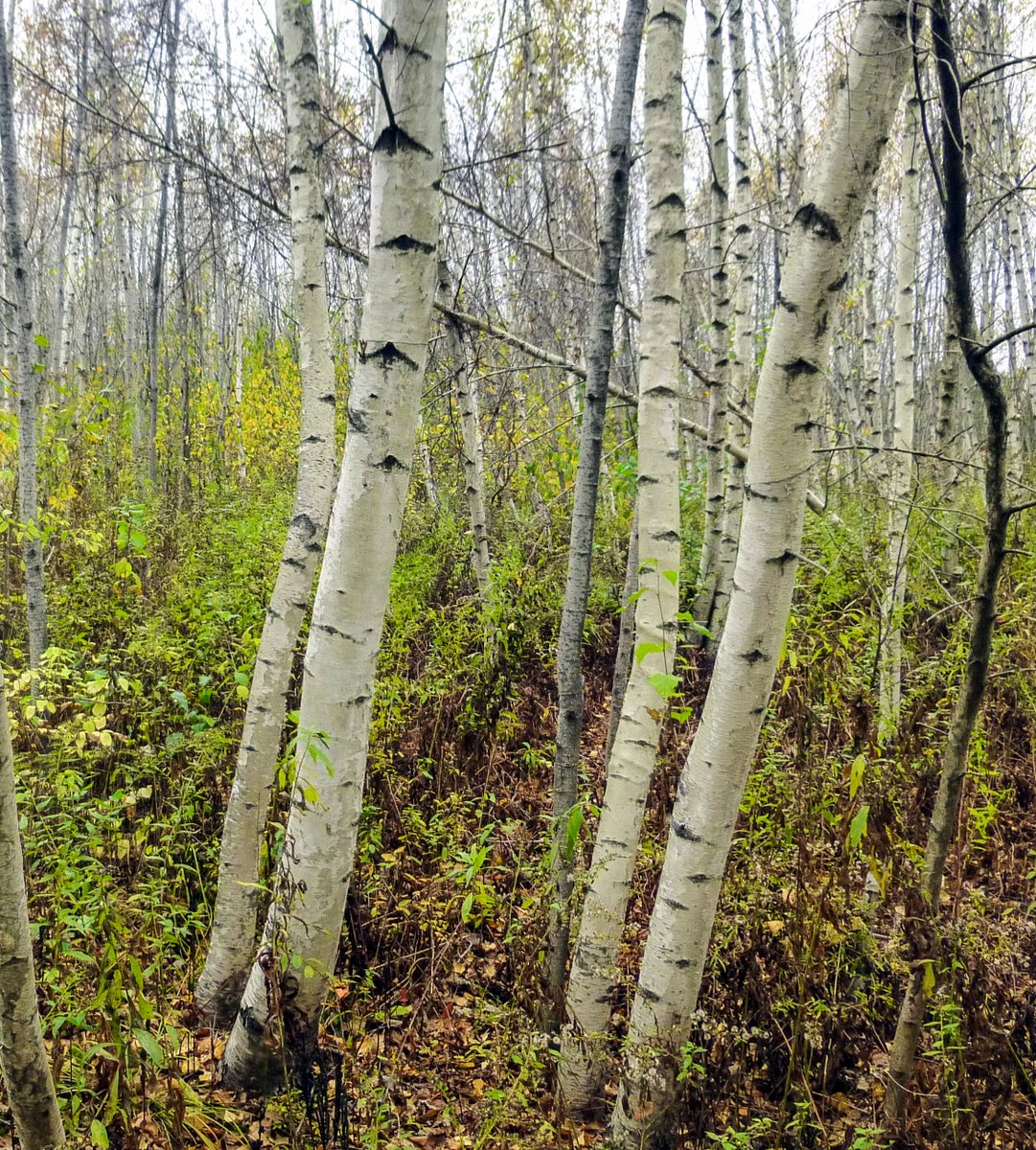birch trees | New Hampshire Garden Solutions