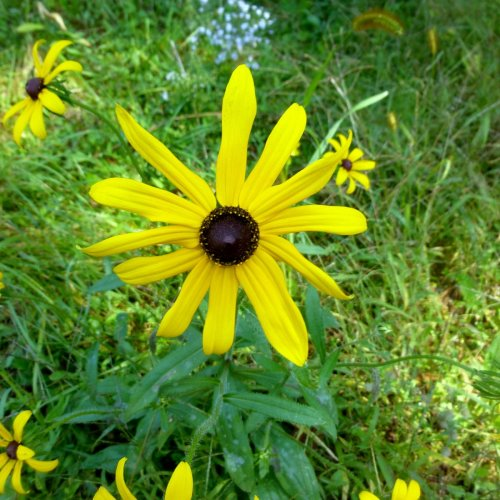 3. Black Eyed Susan
