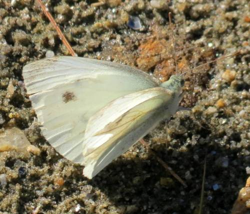 3. Cabbage White
