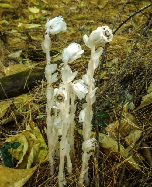5. October Indian Pipes