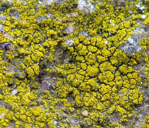 8. Common Goldspeck Lichen