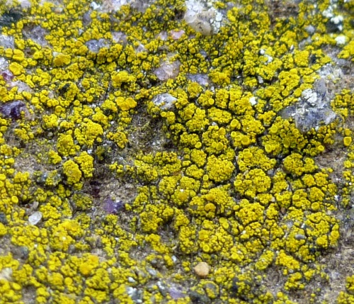 8. Common Goldspeck Lichen