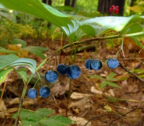 8. Solomon's Seal Berries