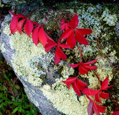 8. Virginia Creeper