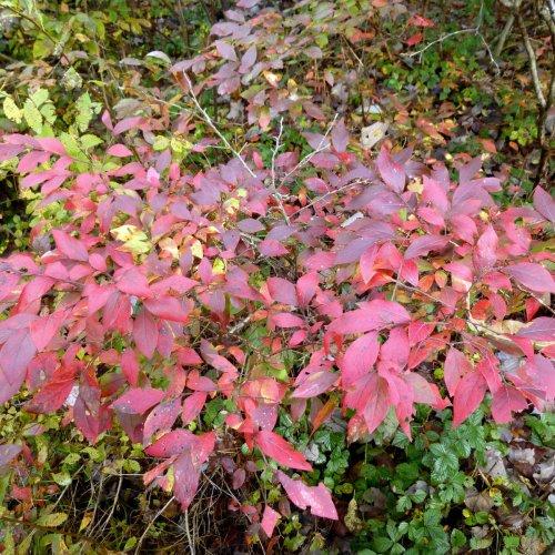 9. Blueberry Bush