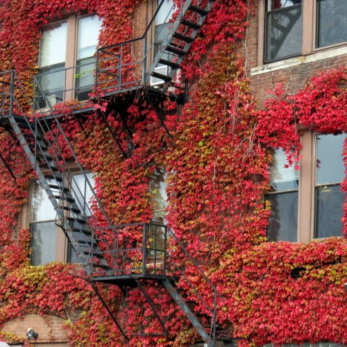 9. Boston Ivy