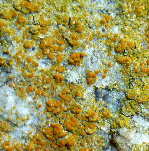 9. Granite Firedot Lichen aka Caloplaca arenaria