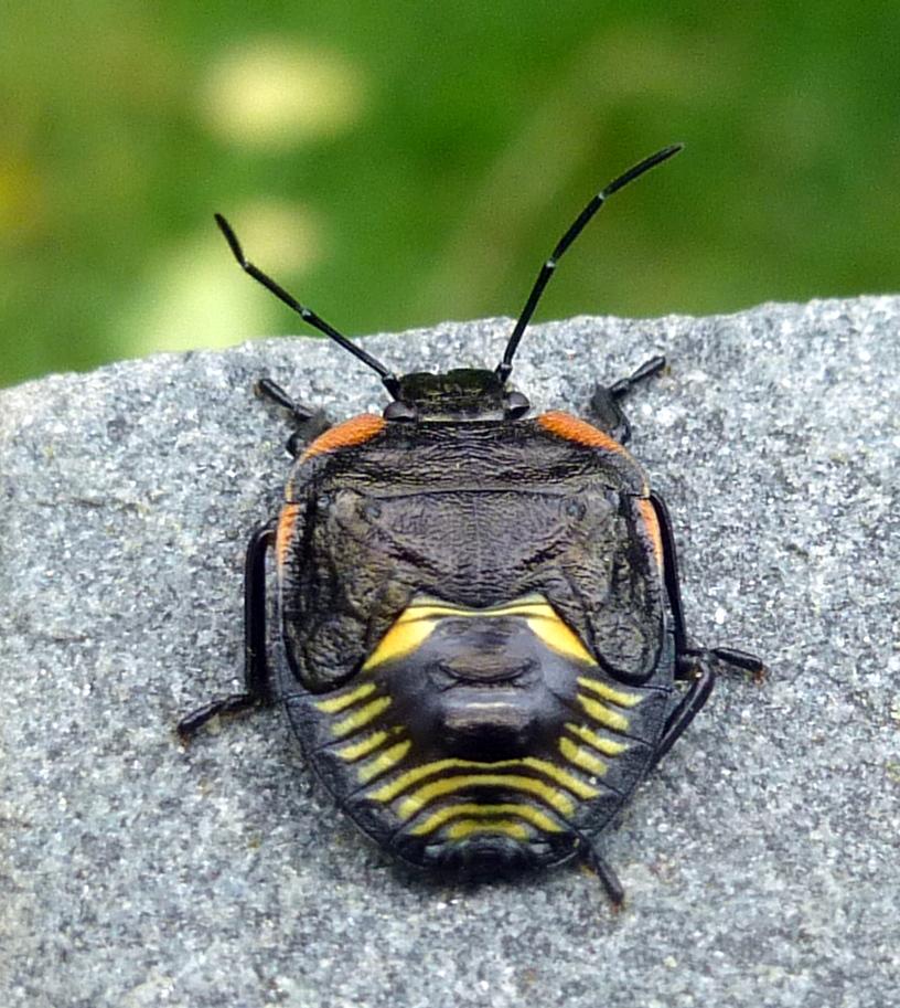 9. Green Stink Bug