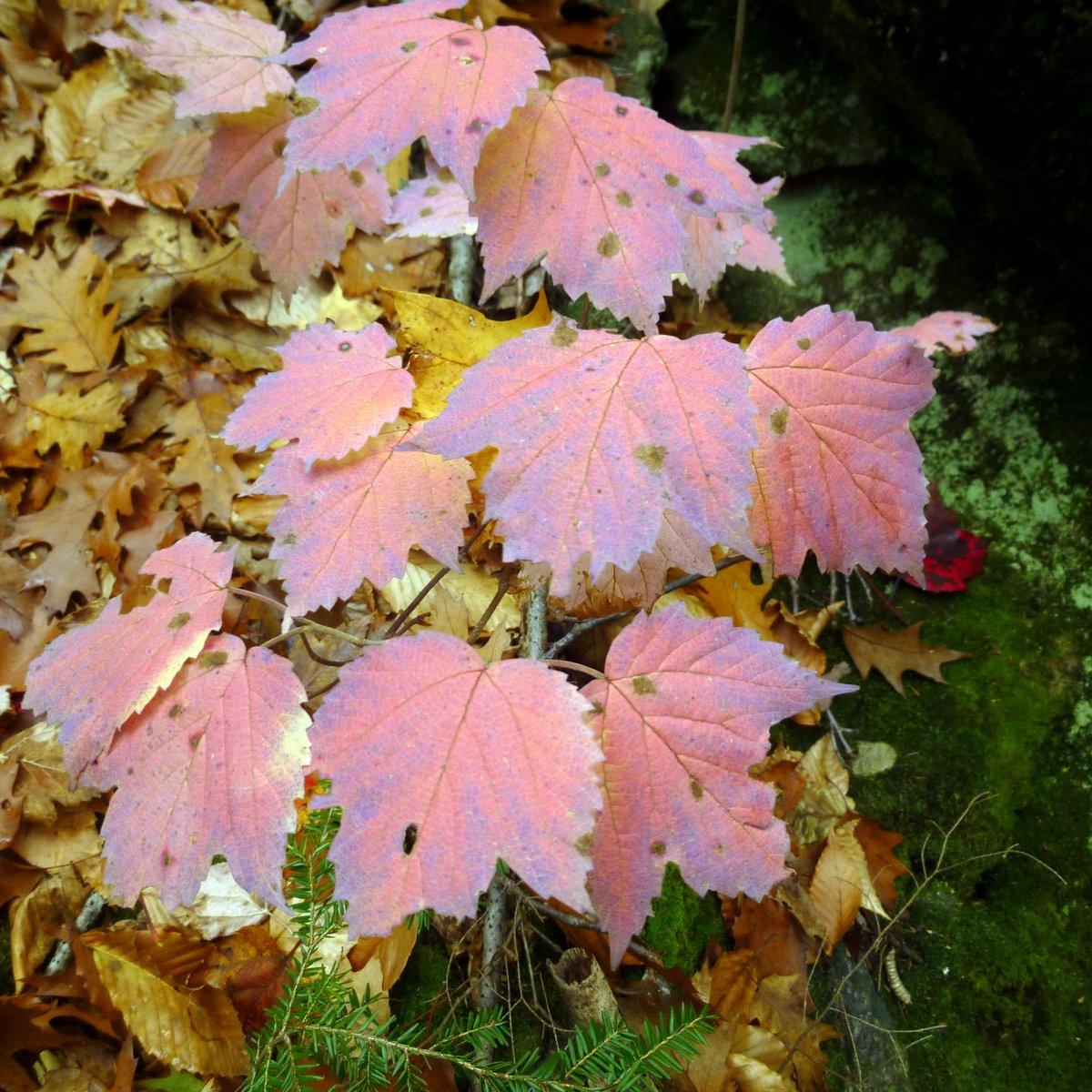 9. Maple Leaved Viburnum