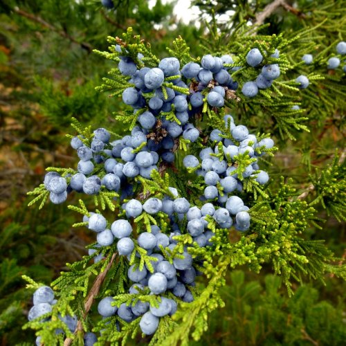 10. Juniper Berries