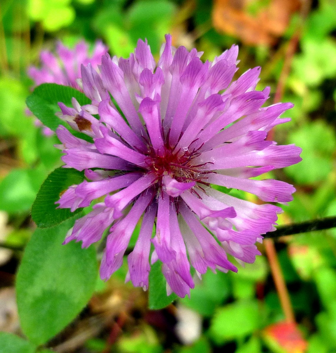 10. Red Clover