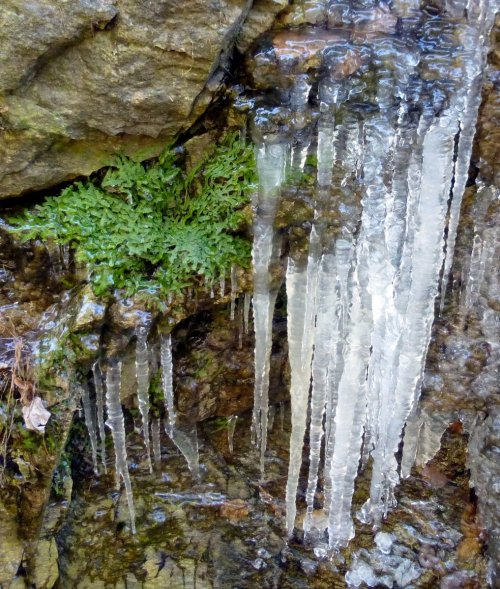 13. Icy Liverworts