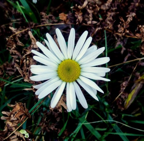 13. Ox Eye Daisy