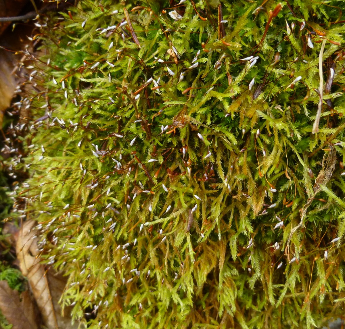 13. Possible Narrow Leaved Beard Moss aka Helodium paludosum