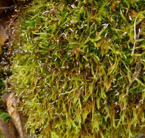13. Possible Narrow Leaved Beard Moss aka Helodium paludosum