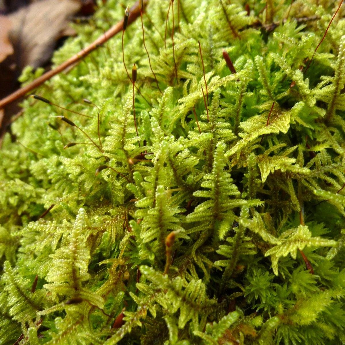 14. Brocade Moss aka Hypnum imponens