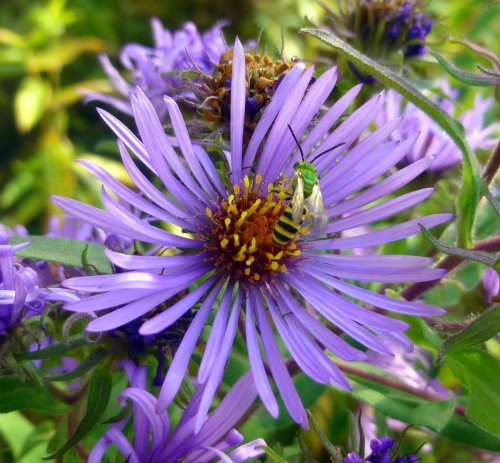 2. New England Aster with Agapostemon splendens