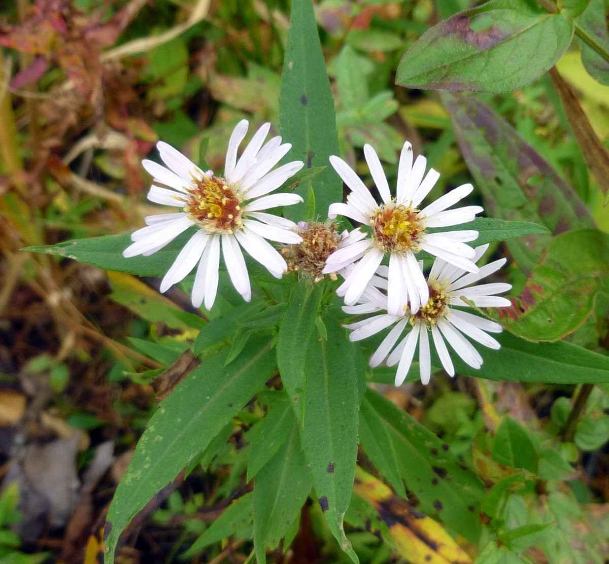 3. Panicled Aster