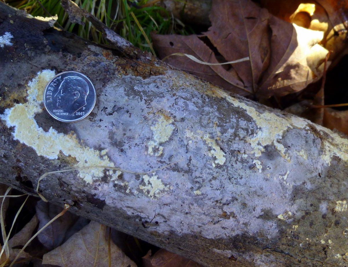 4. Blue Crust Fungus