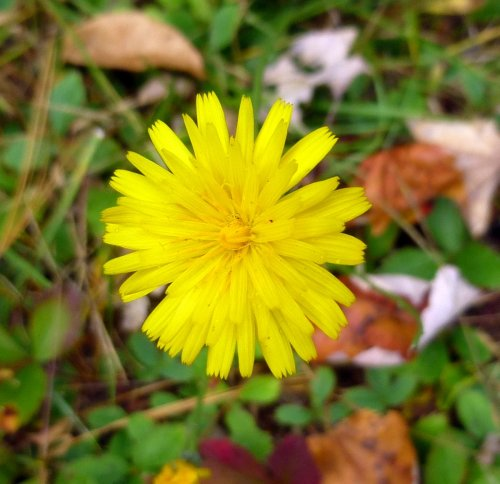 4. False Dandelion