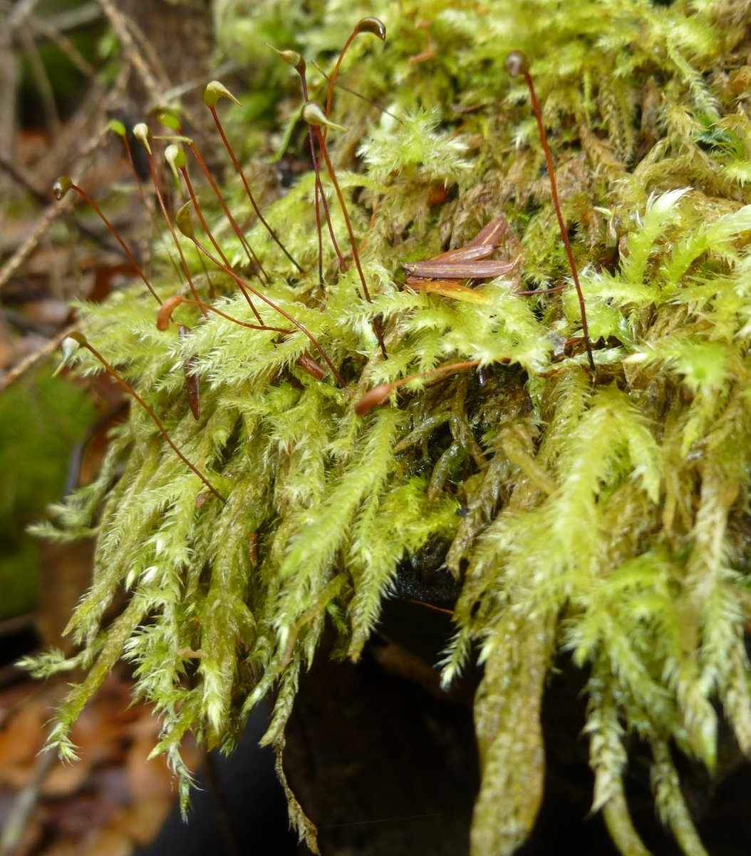 5. Yellow Feather Moss aka Homalothecium lutescens