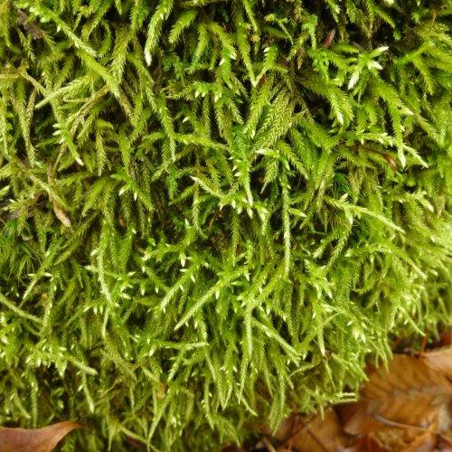 6. White Tipped Moss aka Hedwigia ciliata