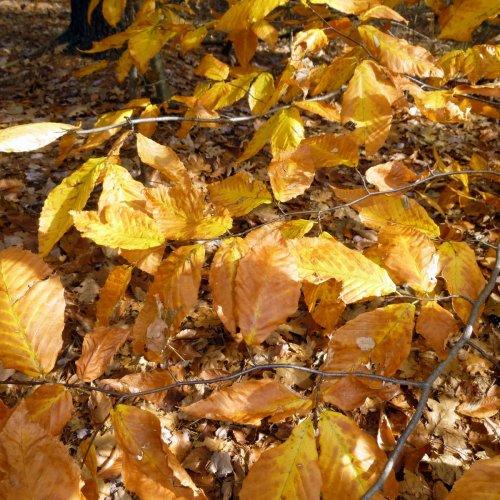 7. Beech Foliage
