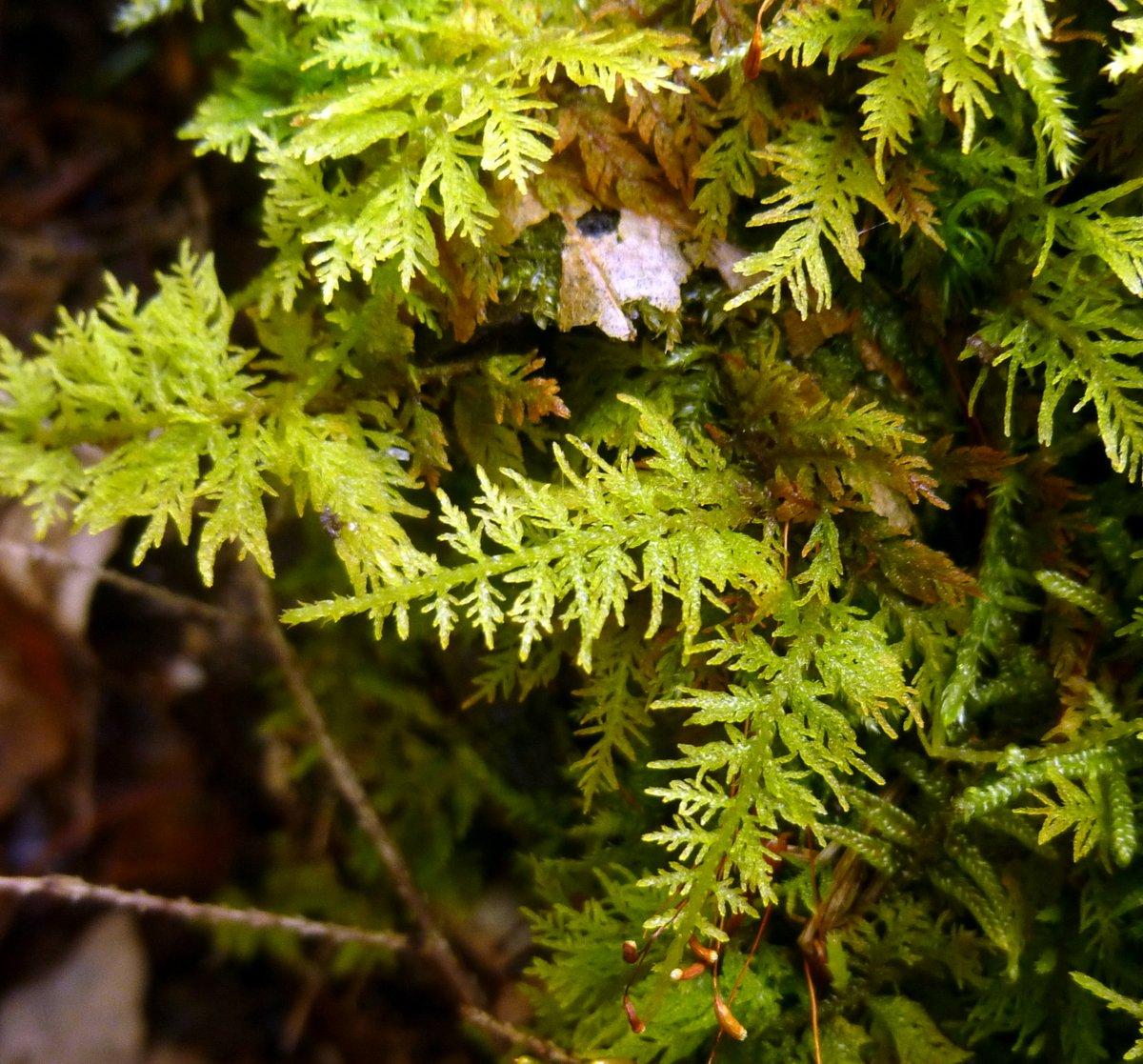 7. Delicate Fern Moss aka Thuidium delicatulum